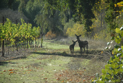 Deer in Potter Valley vineyard, Oct 2010