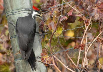 Pileated woodpecker snacking after grape harvest in vineyard