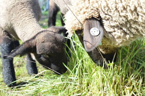 Sheep munching spring grass, March 2016